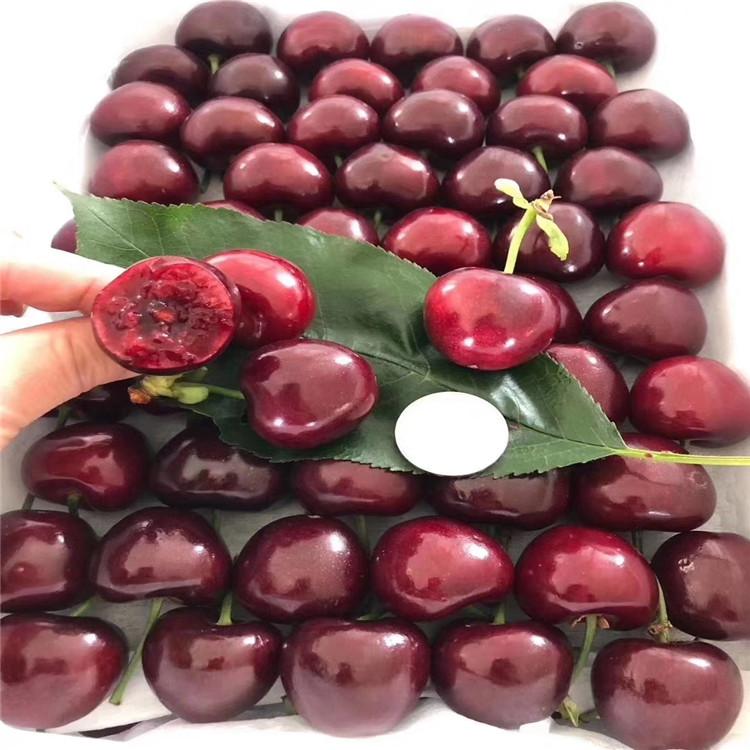 黑兰特樱桃树苗、黑兰特樱桃树苗新品种
