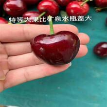出售3公分大樱桃树苗、3公分大樱桃树苗价格图片