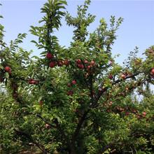 红宝石李子树苗出售、红宝石李子树苗价格及基地图片