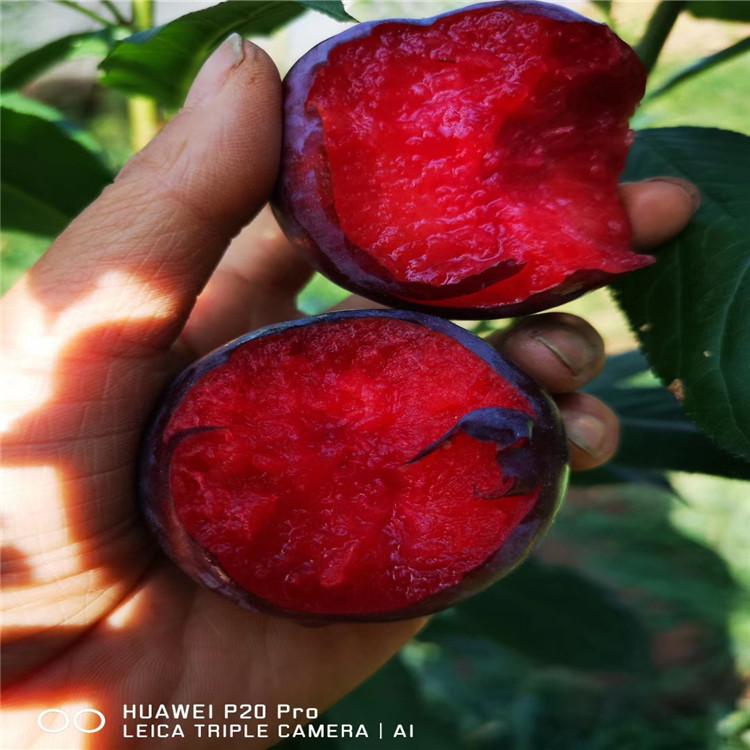 红贵阳李子苗、红贵阳李子苗新品种
