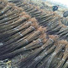 奥德罗达李子树苗新品种、奥德罗达李子树苗价格及基地图片