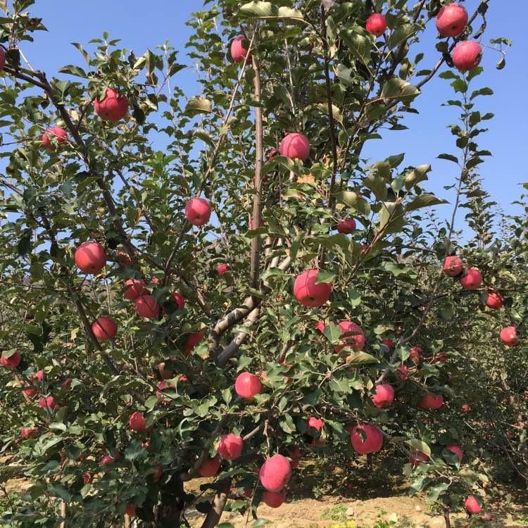 长富2号苹果苗
