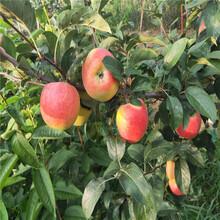 1公分苹果树苗价格、2020年1公分苹果树苗价格图片