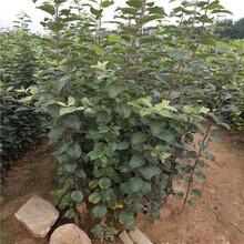 烟富10号苹果树苗价格、烟富10号苹果树苗新品种图片