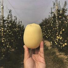 短枝矮化苹果树苗出售、短枝矮化苹果树苗价格图片