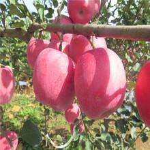 出售鲁丽苹果树苗、鲁丽苹果树苗价格图片