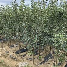瑞雪苹果树苗批发、瑞雪苹果树苗价格及基地图片