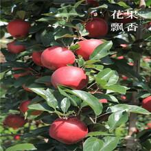 双矮苹果苗、双矮苹果苗新品种图片