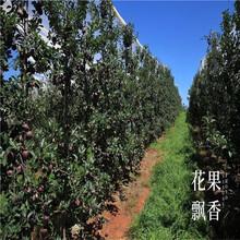 蛇果苹果树苗、蛇果苹果树苗品种图片
