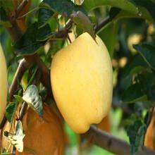 金帅苹果树苗、金帅苹果树苗价格图片