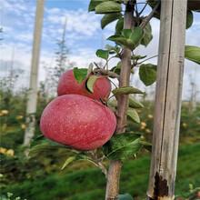 烟富六号苹果树苗、烟富六号苹果树苗报价及价格图片