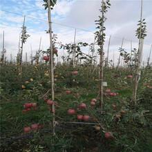 2020年苹果苗、2020年苹果苗基地及报价图片