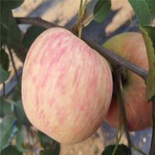 出售润太一号苹果苗、出售润太一号苹果苗价格图片