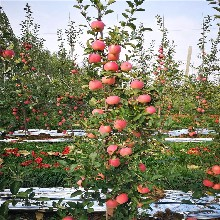 3公分苹果树苗出售基地、3公分苹果树苗价格及报价图片