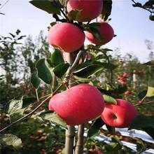 富士苹果苗、富士苹果苗出售价格图片