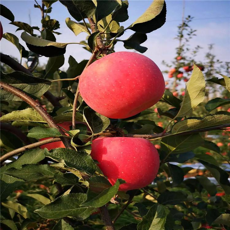 出售烟富3号苹果树苗、烟富3号苹果树苗价格