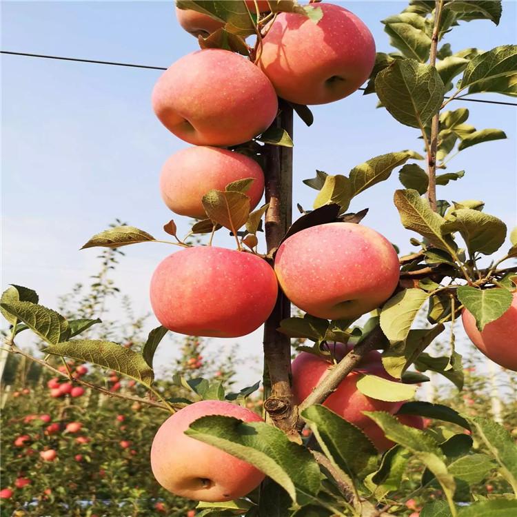 山东苹果树苗出售、山东苹果树苗价格及报价