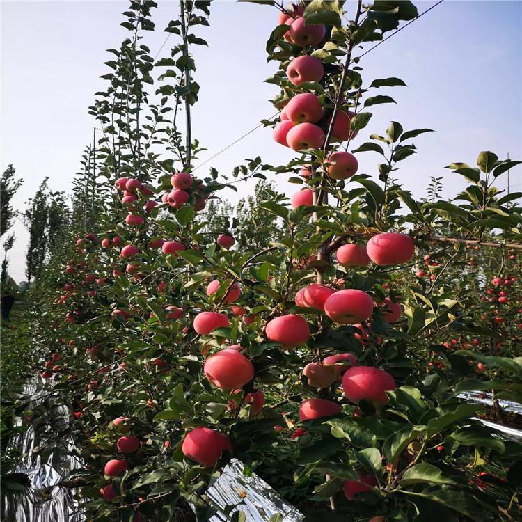 蛇果苹果树苗、蛇果苹果树苗品种