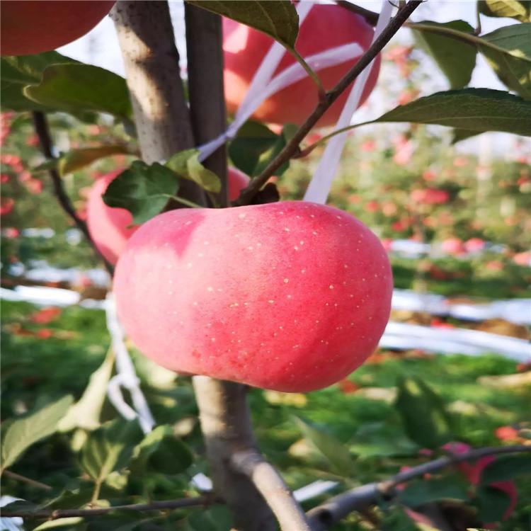 M26苹果苗批发、M26苹果苗价格及报价