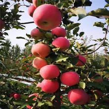 苹果苗出售、苹果苗基地图片