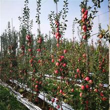 矮化M26苹果树苗、矮化M26苹果树苗价格及报价图片