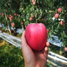 出售4凤凰联盟登录分苹果树苗、4凤凰联盟登录分苹果树苗基地图片