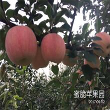 秦冠苹果树苗、秦冠苹果树苗基地图片