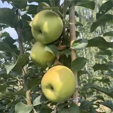 大国光苹果苗报价、大国光苹果苗价格及基地图片