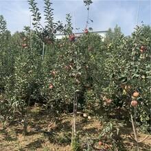 黑苹果树苗批发价格、黑苹果树苗基地及报价图片