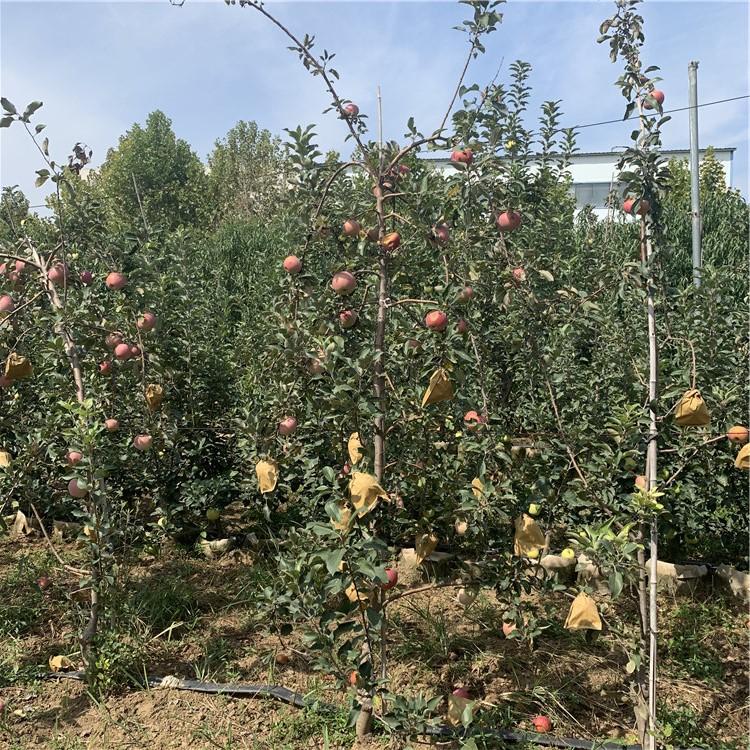早红嘎啦苹果苗、早红嘎啦苹果苗新品种
