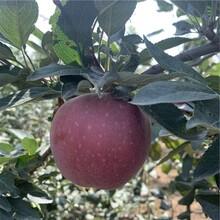 冰糖心苹果树苗批发、冰糖心苹果树苗价格图片