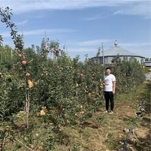 新品种短枝红富士苹果树苗价格、新品种短枝红富士苹果树苗基地图片