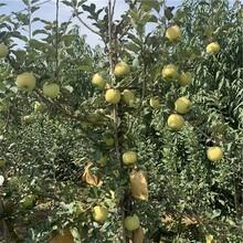 hff63苹果树苗批发、hff63苹果树苗价格图片