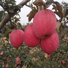123苹果树苗批发价格、123苹果树苗基地及报价图片