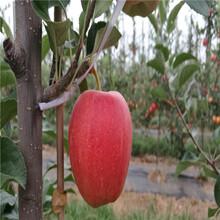 黑钻苹果苗出售、黑钻苹果苗价格及报价图片