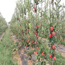 中秋王苹果树苗、中秋王苹果树苗新品种图片