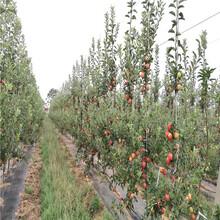 长富苹果苗、长富苹果苗基地及价格图片