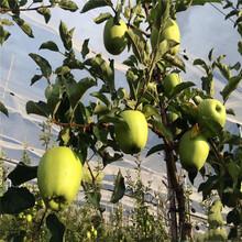 寒富苹果苗、寒富苹果苗基地及价格图片