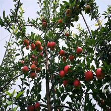 美国八号苹果树苗、美国八号苹果树苗报价及价格图片