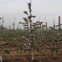 新红星苹果树苗价格、新红星苹果树苗新品种图片