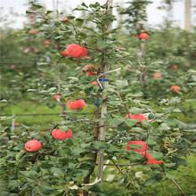 大国光苹果苗批发价格、大国光苹果苗基地及报价图片