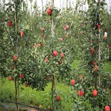 鲁丽苹果树苗、鲁丽苹果树苗批发图片