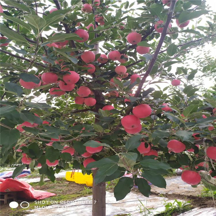 花牛苹果树苗、花牛苹果树苗报价