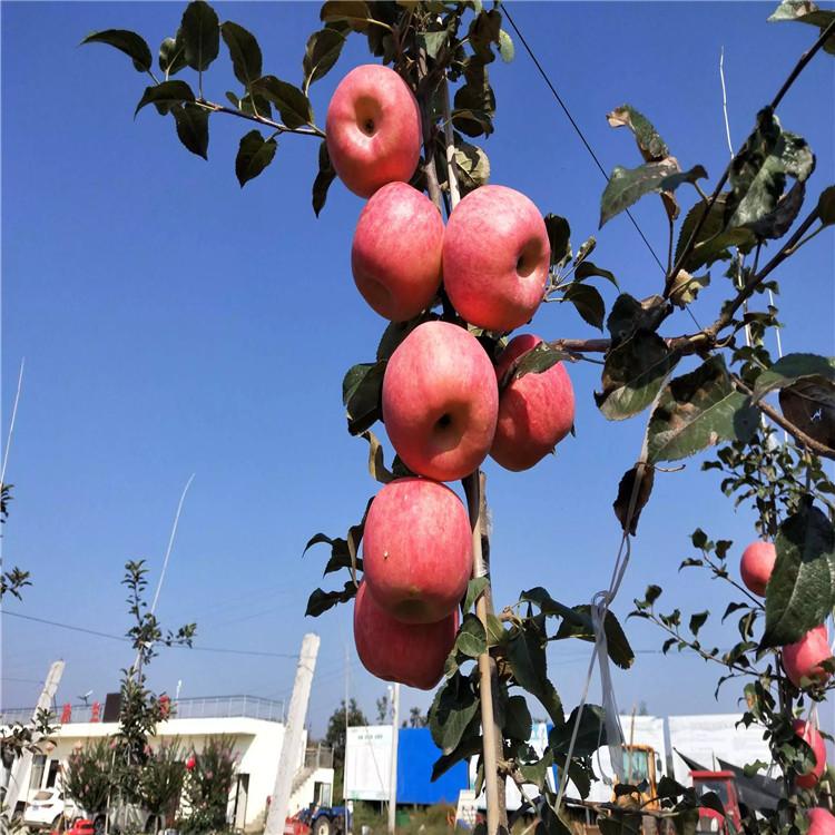 短枝苹果树苗出售基地、短枝苹果树苗价格及报价