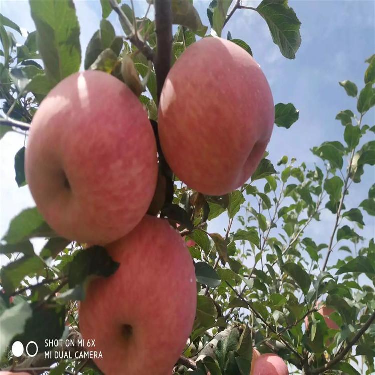 出售5公分苹果树苗、出售5公分苹果树苗基地