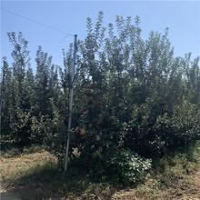 自根砧苹果树苗、自根砧苹果树苗价格图片