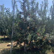 蜜脆苹果树苗、蜜脆苹果树苗基地图片