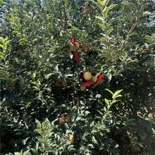 新品种烟富6号苹果树苗价格、新品种烟富6号苹果树苗基地图片