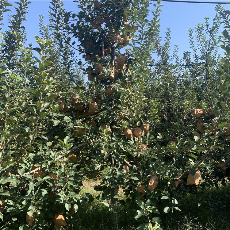 瑞香红苹果树苗价格、瑞香红苹果树苗基地