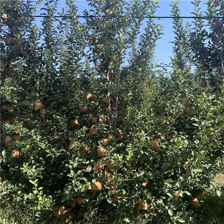 烟富111苹果苗价格、烟富111苹果苗批发
